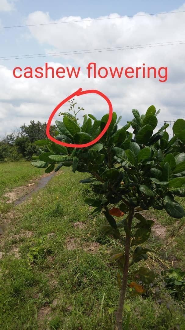 Aufforstung Afrika Cashew Bluete