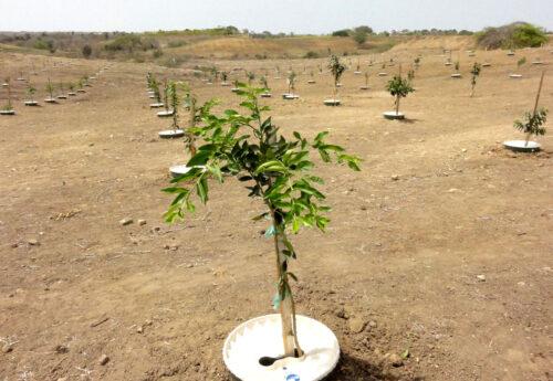Orangenbaum in einer Waterboxx in trockener Umgebung
